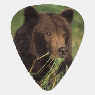 brown bear, Ursus arctos, grizzly bear, Ursus 7 Guitar Pick
