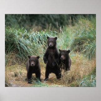 brown bear, Ursus arctos, grizzly bear, Ursus 7 Poster
