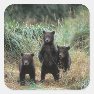 brown bear, Ursus arctos, grizzly bear, Ursus 7 Square Sticker
