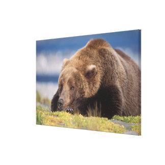 brown bear, Ursus arctos, grizzly bear, Ursus 8 Canvas Print