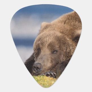 brown bear, Ursus arctos, grizzly bear, Ursus 8 Guitar Pick