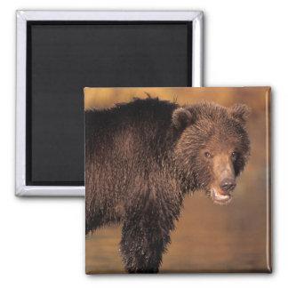 brown bear, Ursus arctos, grizzly bear, Ursus 8 Magnet