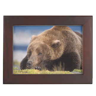 brown bear, Ursus arctos, grizzly bear, Ursus 8 Memory Box