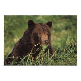 brown bear, Ursus arctos, grizzly bear, Ursus 8 Photo Print