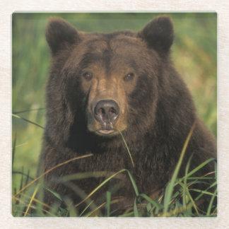 brown bear, Ursus arctos, grizzly bear, Ursus 9 Glass Coaster