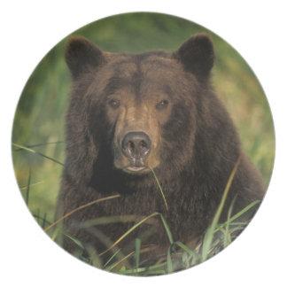 brown bear, Ursus arctos, grizzly bear, Ursus 9 Dinner Plate