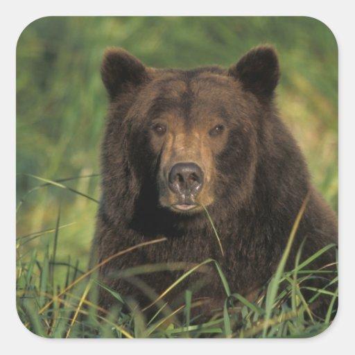 brown bear, Ursus arctos, grizzly bear, Ursus 9 Sticker