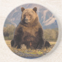 brown bear, Ursus arctos, grizzly bear, Ursus Drink Coaster