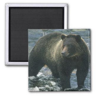 Brown Bear, Ursus arctos), hunting salmon, 2 Inch Square Magnet