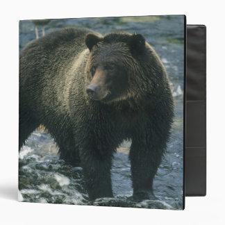 Brown Bear, Ursus arctos), hunting salmon, Binder