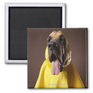 Brown bloodhound dog wearing yellow raincoat 2 inch square magnet