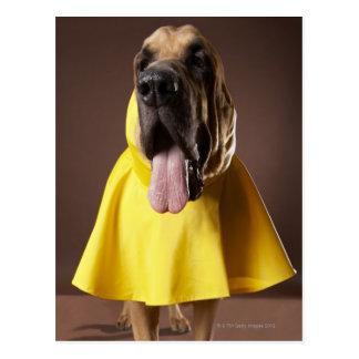 Brown bloodhound dog wearing yellow raincoat postcard