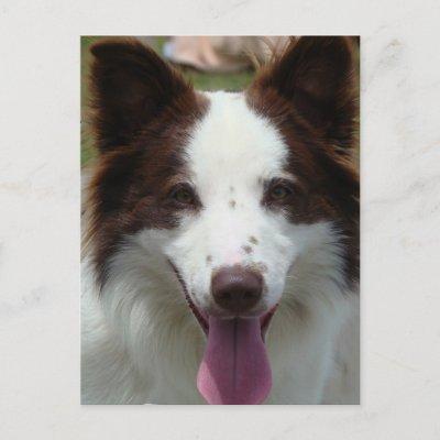 quiets humans & there pets  Brown_border_collie_postcard-p239502143973201444trdg_400