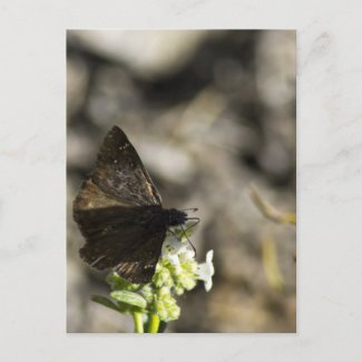Brown Butterfly Post Card