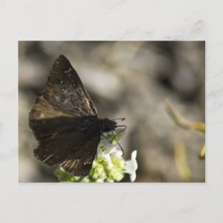 Brown Butterfly Postcard