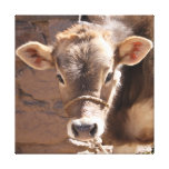 Brown Calf - Brown Baby Cow Standing Canvas Print