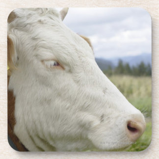 Brown cow with a sign in it?s ear on a feedlot, beverage coaster