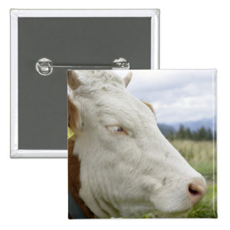 Brown cow with a sign in it s ear on a feedlot buttons