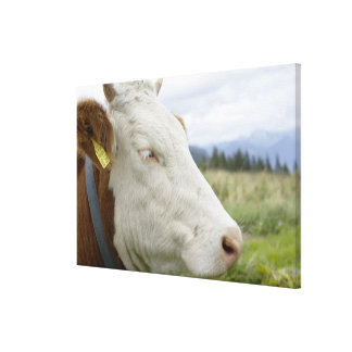 Brown cow with a sign in it s ear on a feedlot stretched canvas prints