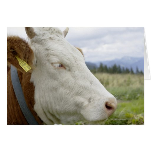Brown cow with a sign in it?s ear on a feedlot, card