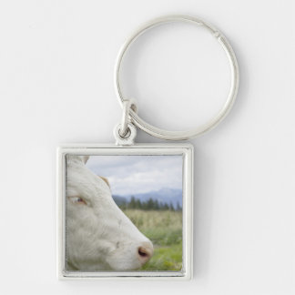 Brown cow with a sign in it?s ear on a feedlot, keychain