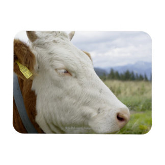 Brown cow with a sign in it?s ear on a feedlot, magnet