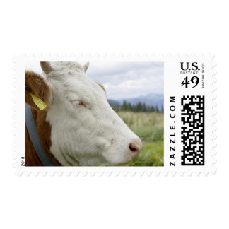 Brown cow with a sign in it s ear on a feedlot postage