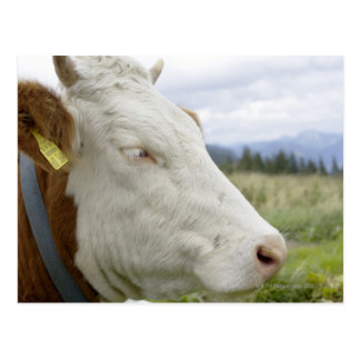 Brown cow with a sign in it?s ear on a feedlot, postcard
