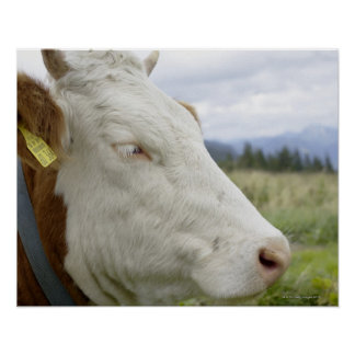 Brown cow with a sign in it s ear on a feedlot posters