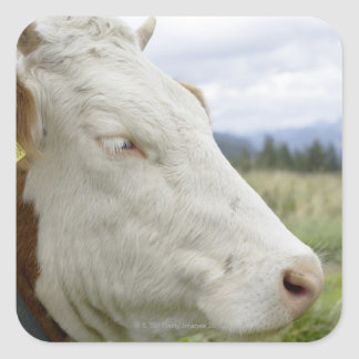 Brown cow with a sign in it?s ear on a feedlot, square sticker