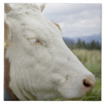 Brown cow with a sign in it?s ear on a feedlot, ceramic tile