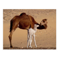 Brown Dromedary Mother Camel and White Calf Postcard