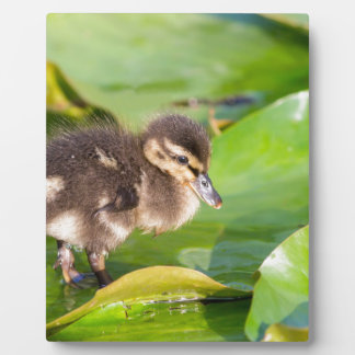Brown duckling walking on water lily leaves plaque