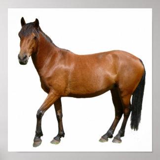 Brown Exmoor Horse Poster