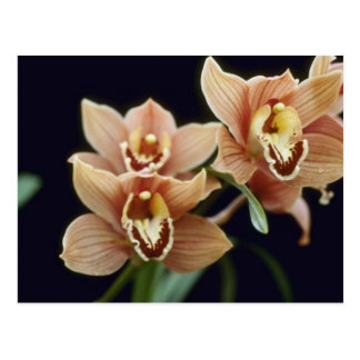 Brown Firewheel, Close Up (Cymbidium) flowers Postcard