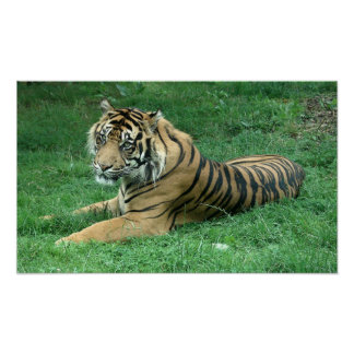 Brown Fur Black Stripes Tiger Sitting Poster