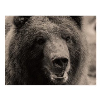 Brown Grizzly Bear Wildlife Photo Postcards