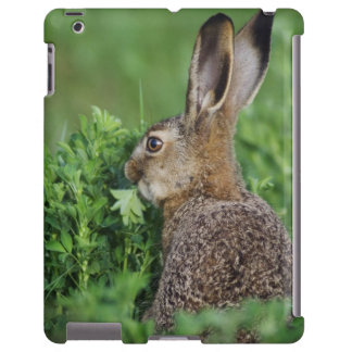 Brown Hare, Lepus europaeus, young eating,
