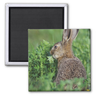 Brown Hare, Lepus europaeus, young eating, 2 Inch Square Magnet