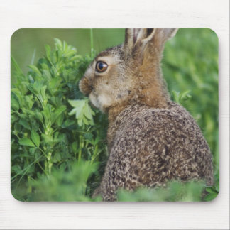 Brown Hare, Lepus europaeus, young eating, Mouse Pad