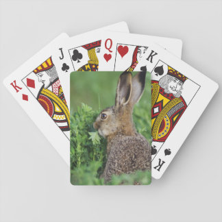 Brown Hare, Lepus europaeus, young eating, Poker Deck