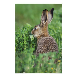 Brown Hare, Lepus europaeus, young eating, Photo
