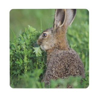 Brown Hare, Lepus europaeus, young eating, Puzzle Coaster