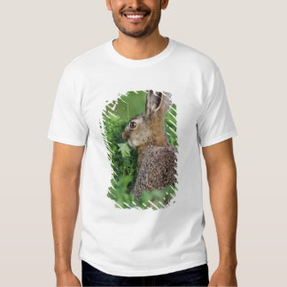 Brown Hare, Lepus europaeus, young eating, Shirt
