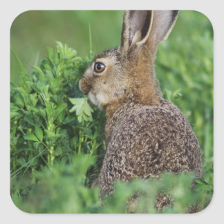 Brown Hare, Lepus europaeus, young eating, Square Sticker