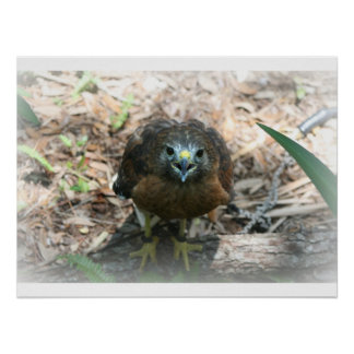Brown Hawk mouth open glaring at camera Poster