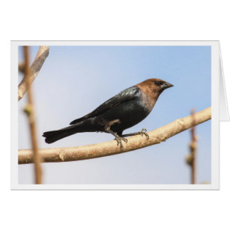 Brown-headed Cowbird Card