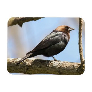 Brown-headed Cowbird Magnet