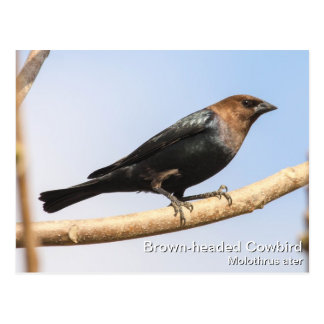 Brown-headed Cowbird Postcard