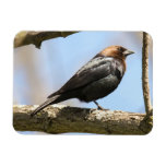 Brown-headed Cowbird Rectangle Magnet